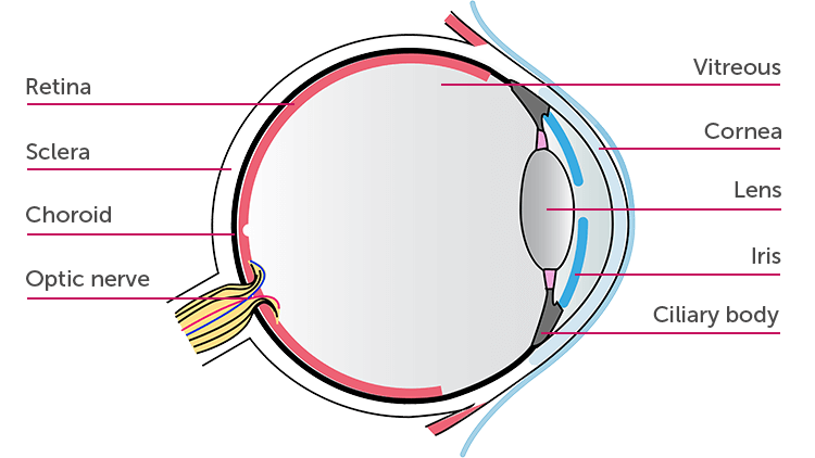 Parts of the Eye Affected by Uveitis
